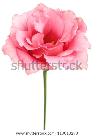 Beauty eustoma on a white background - stock photo