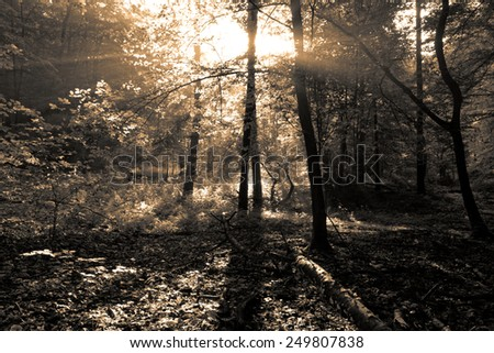 Beauty forest with sunrays in the morning filtering using sepia gold - stock photo