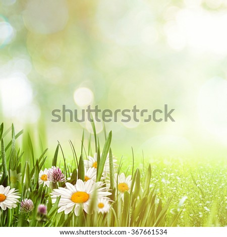 Beauty natural backgrounds with chamomile flowers for your design - stock photo