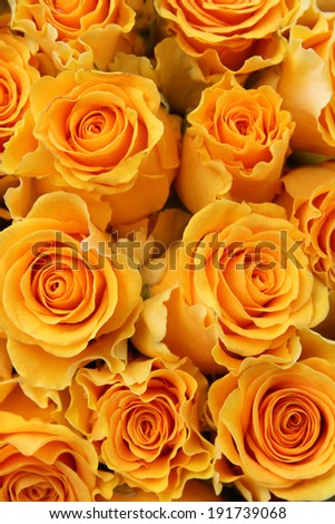 beauty orange rose background  - stock photo