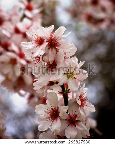 Beauty Pink and White Cheery Blossoms on Blurred Cherry Tree Flowers closeup - stock photo