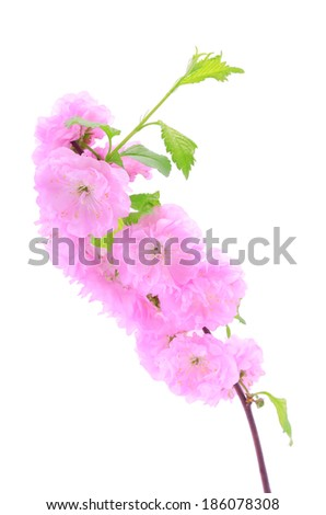 Beauty pink cherry flower isolated on a white background