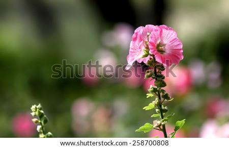 Beauty Pink Hollyhock flower in the garden - stock photo