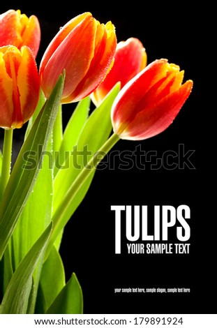 Beauty red tulips on the black background - stock photo
