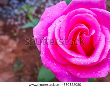 Beauty rose flower arts,filter image - stock photo
