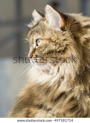 Beauty siberian cat, profile
