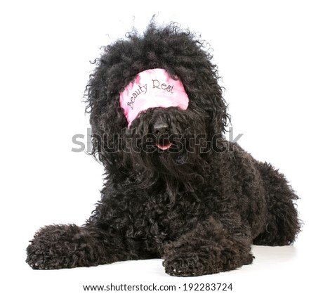 beauty sleep - barbet dog wearing sleep mask - stock photo