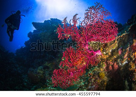 Beauty under the surface with divers observing the hidden world. Beautiful underwater world, landscape on the down side, with soft corals, hard corals and sponges. Nusa Penida, Indonesia. - stock photo