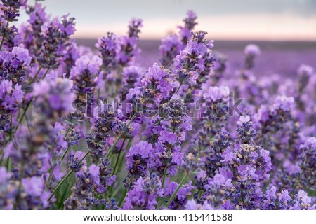 Beauty violet lavender
