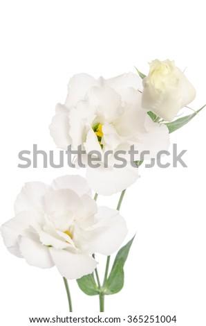 Beauty white flowers  isolated on white. Eustoma - stock photo