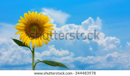 beauty yellow sunflower on blue sky background