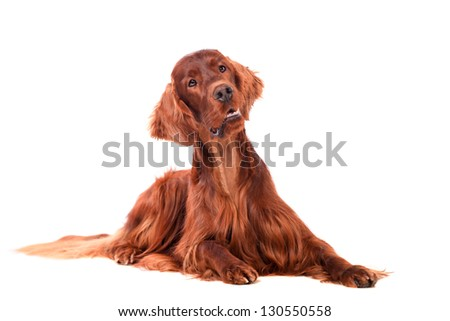Beautyfull dog: Irish Red Setter - isolated over a white background - stock photo