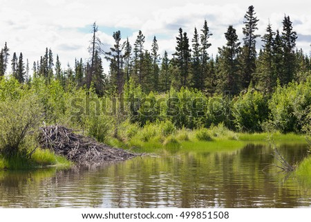 Beaver, Castor canadensis, lodge made from sticks and mud in boreal forest taiga riparian wetland biome habitat of Yukon Territory, Canada
