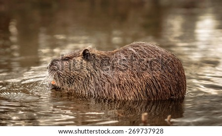 beaver eating in the water - stock photo