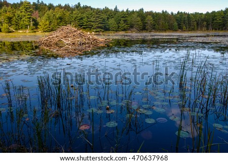 Beaver Lodge in small lily pond in Acadia National Park.  Dark foreground and soft light on the huge lodge.