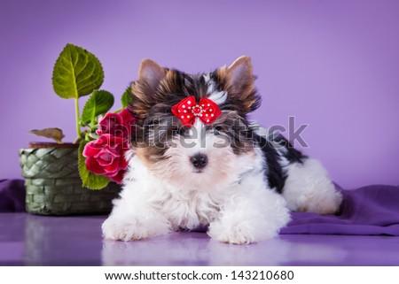 Beaver york dog - stock photo