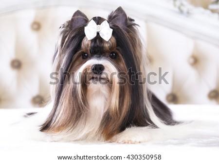 Beaver Yorkshire Terrier - stock photo