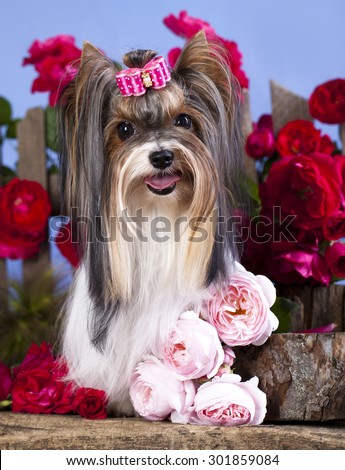 Beaver Yorkshire Terrier and roses - stock photo