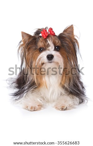 Beaver Yorkshire Terrier dog sitting and looking at the camera (isolated on white)
