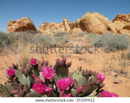 Beavertail Cactus in Valley of Fire state park, Nevada - stock photo