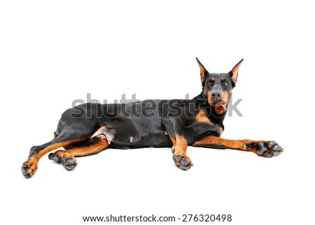 Become alerted. Lying dobermann pinscher on isolated white background looking alert.  - stock photo