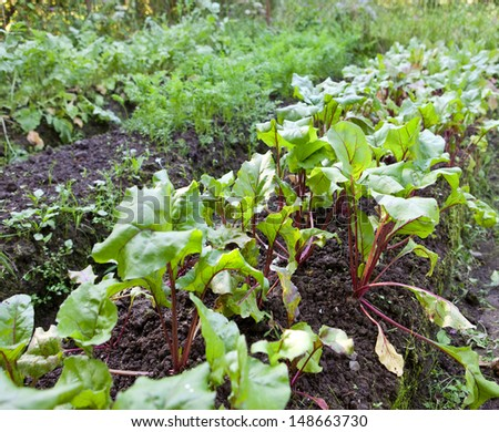 Bed in a garden with beet shoots  - stock photo