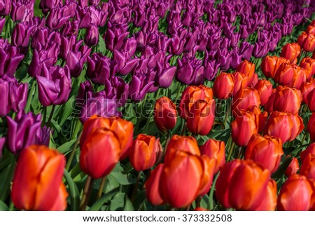 Bed of red and violet tulips in the garden