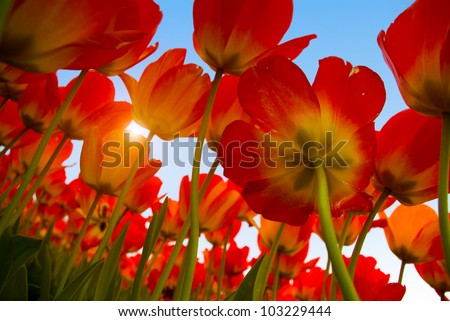 bed of tulips field and windmill - stock photo