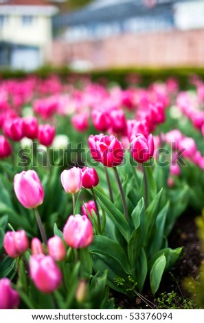 Bed of vibrantly colored tulips in spring - stock photo