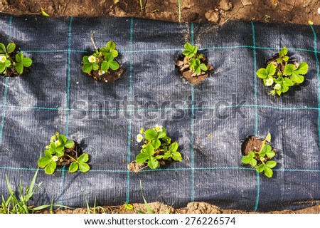 Bed under black film with flowering and fruit-bearing bushes of strawberries - stock photo