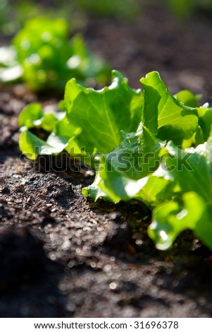 Bed with a green salad. The concept of gardening. Low depth of field and the back light