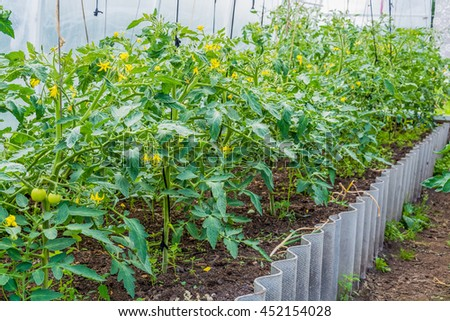 bed with blooming tomato plants in greenhouse in the summer