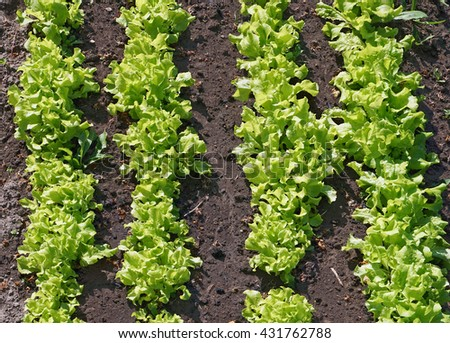 Bed with fresh sunny  green salad vegetables  top view  after the rain.  - stock photo