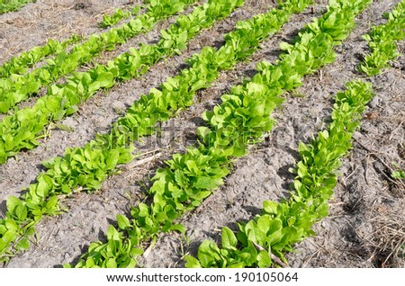 Bed with Giant Leaf spinach in the vegetable garden the Groentenhof in Leidschendam, Netherlands. - stock photo