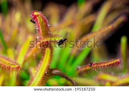 bedbug catched by drosera alba  - stock photo