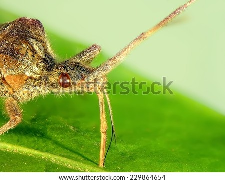 Bedbug eats juice of plant leave. Close up. Macro - stock photo