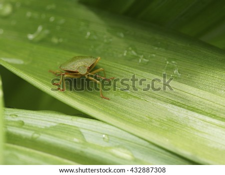 Bedbug on a green leaf in the garden. Close-up. - stock photo