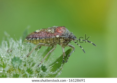 Bedbug sits on a sheet.  Insecta \ Hemiptera \ Pentatomidae\ Dolycoris baccarum - stock photo
