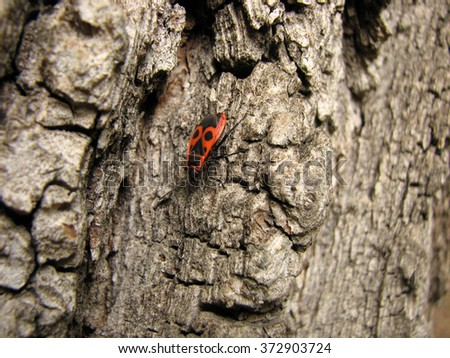 Bedbug-soldier on a tree trunk, red-black beetle, super macro mode - stock photo