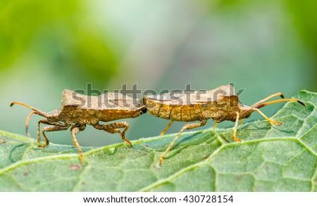 Bedbugs, mating. - stock photo