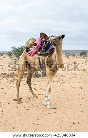 Bedouin camel in western sahara - stock photo