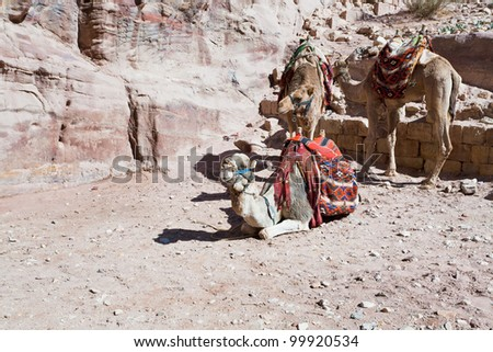 bedouin camels in Petra, Jordan - stock photo