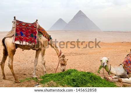 Bedouin camels rest near the Pyramids in Cairo, Egypt  - stock photo