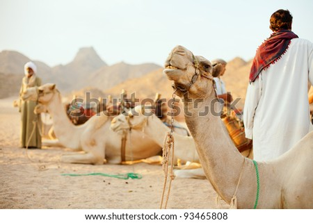 bedouins and their camels in desert