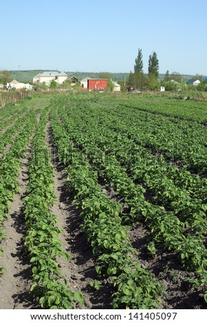 Beds of potatoes in the garden, North Caucasus