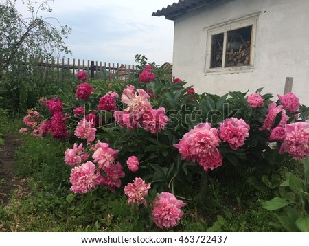 Beds with peonies and garden house. Country style