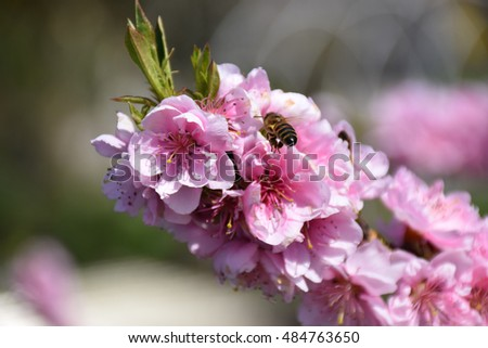 Bee  alights on peach flowers for pollination