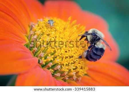 Bee and a bug on an orange flower