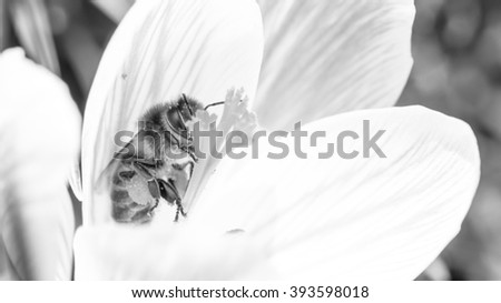 bee and his crocus in black and white - stock photo