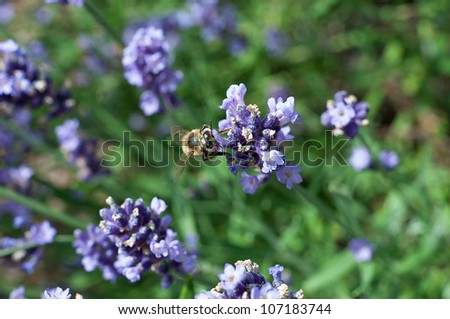 bee and lavender - stock photo